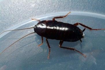 Oriental-Cockroach