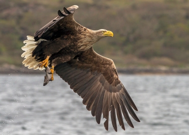 White-Tailed-Eagle-lift-off-p